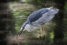 Black Crowned Night Heron Hunt...