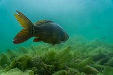 Carp Under Water, Under Water ...