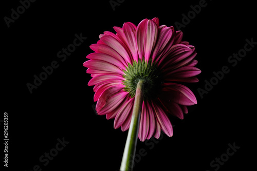 Photo Gerbera flower isolated on black background in drops of water