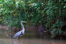 Great Blue Heron Wading By River Bank (Ardea Herodias)