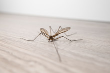 Crane Fly Insect In A Home On Wooden Floor. Commonly Called Daddy Long Legs