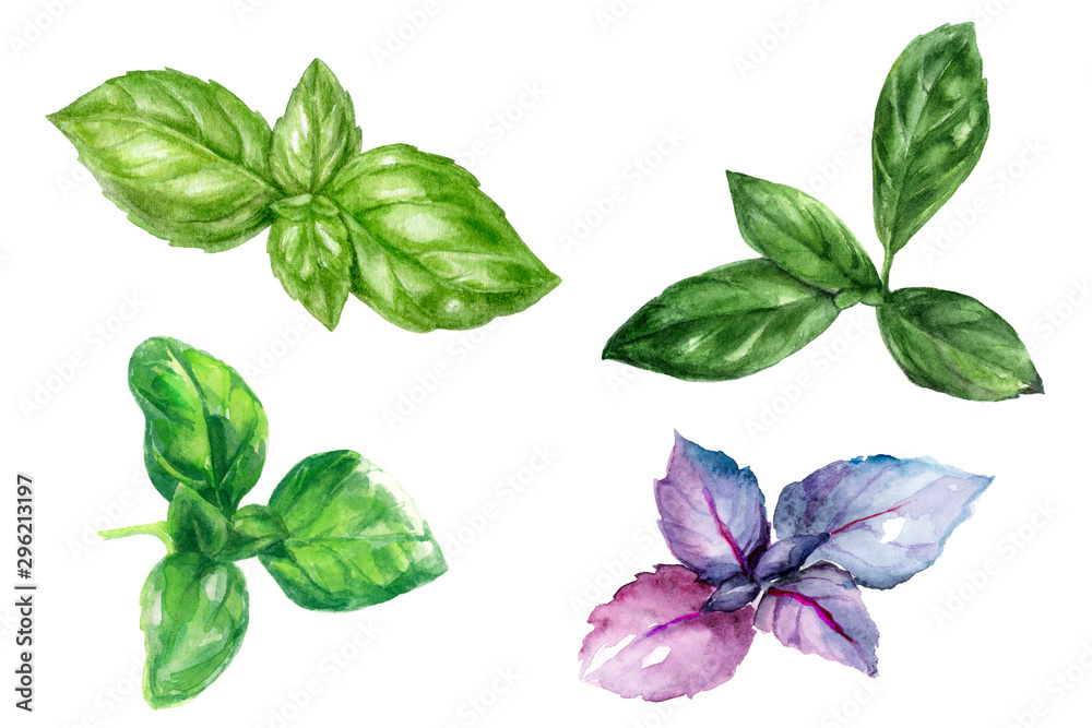 Fototapety, obrazy: Basil herb leaf set composition watercolor isolated on white background