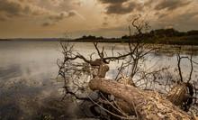 Dried Tree And Lake. Nature La...