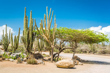 Typical Dry Climate Cacti And Shrubs In Aruba. The Rural Areas Of The Island, Called Kunuku, Are Home To Various Forms Of Cacti, Thorny Shrubs, And Local Trees Like The Kwih, Divi Divi And Fofoti.