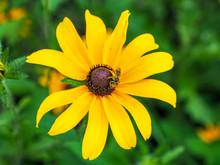 Bee On Black-eyed Susan 2