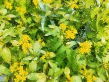 Bush With Small Yellow Flowers...