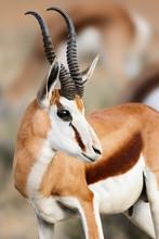 Springbuck/Springbok Male Faci...