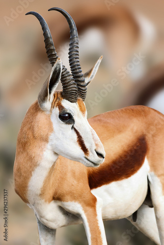 Photo Springbuck/Springbok male facial portrait close-up