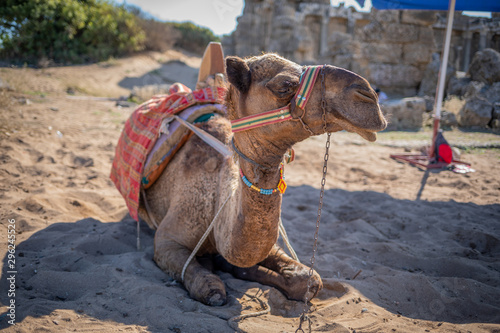 in an oriental excavation site there is a camel on which you can ride Fototapet