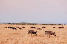 Herd Of African Wildebeest In ...