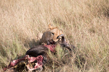 A Lion And Its Kill - A Wildebeest. Tanzania, Africa.