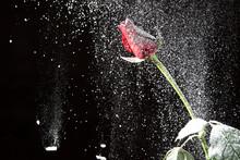 Rose Snow Winter Night. Rose In The Night Winter