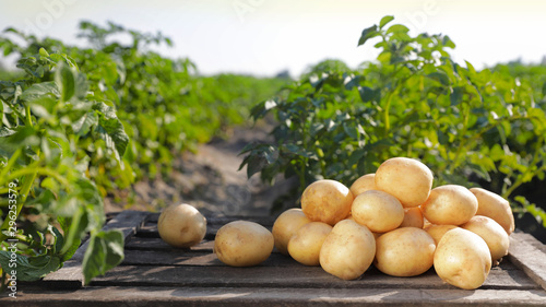Obraz na plátně Wooden crate with raw young potatoes in field on summer day