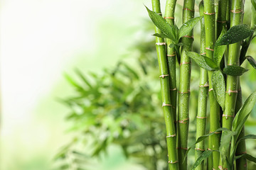 Stabljike zelenog bambusa na zamagljenoj pozadini. Prostor za tekst