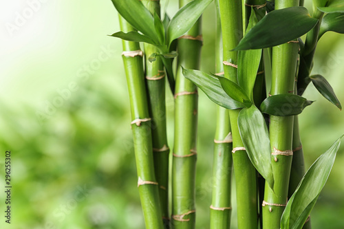 Poster Bamboe Beautiful green bamboo stems on blurred background