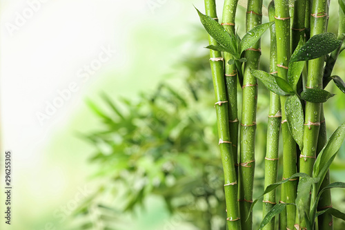 Poster Bamboe Green bamboo stems on blurred background. Space for text