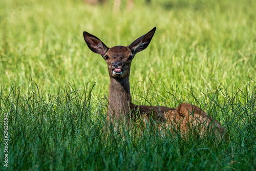 Roe Deer, Capreolus capreolus lives mostly in Germany and France