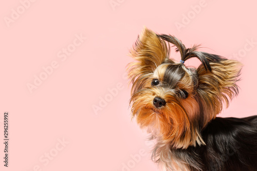 Obraz na plátně Adorable Yorkshire terrier on pink background, space for text