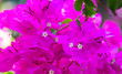 canvas print picture - Beautiful pink flowers in nature