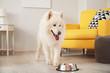 Cute Samoyed dog eating from bowl at home