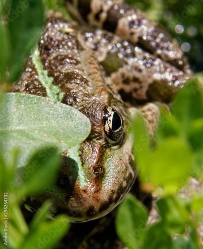 Photo grenouille