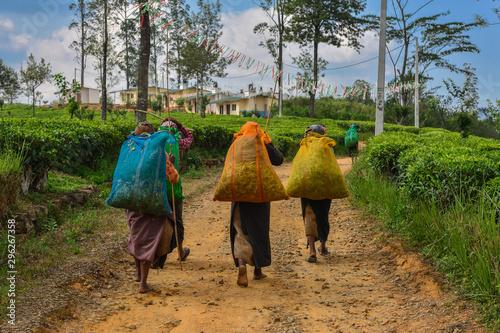 Obraz na plátně Sri Lanka tea pickers women