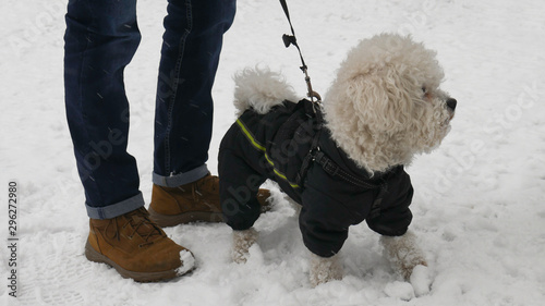 Valokuvatapetti Cute bichon dog in black winter jacket in the park with its owner during snowy winter