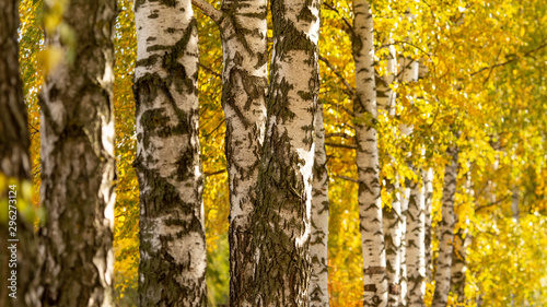 Birch in yellow colors in the fall