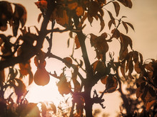 Pear Silhouette In The Orchard...