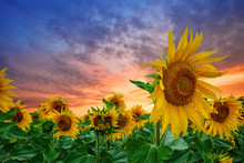 Sunflowers At Sunset Against D...