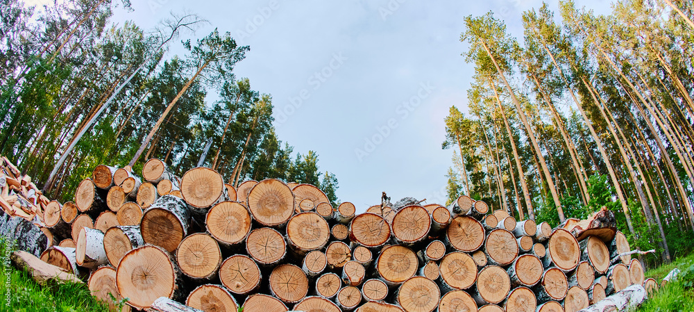 Fototapety, obrazy: A large pile of felled trees on the edge of the forest. The sawn pine is piled up. Cut down the forest for fuel