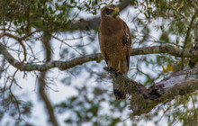 Crested Serpent Eagle Perched On A Tree In Yala National Park In Sri Lanka