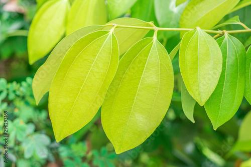 Fotografija Fresh soft green leaves of Cinnamon, Cassia (Cinnamomum Tamala (Hamilton) Nees &
