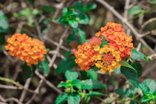 Freshness Colorful Flowers Of Cloth Of Gold, Hedge Flower, Lantana, Weeping Lantana, White Sage (Lantana Camara)  Are Blooming On Tree In Nature Forest