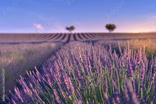 Montage in der Fensternische Aubergine lila Big lavender field in Provence, France