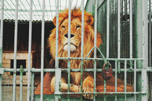 A Beautiful Proud Lion With A Magnificent Mane Lies In A Cage Of The Zoo. He Has A Clever Look. He Seems To Want To Be Free, But He`s Locked Up