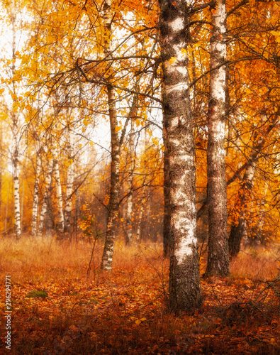 Fototapety, obrazy: golden autumn birches