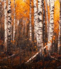 Fototapeta Brzoza autumn birches