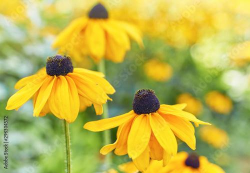 Obraz na plátne Black eyed susan- rudbeckia flowers