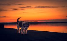 Mongrel Dog Walking On The Pier At Sunset