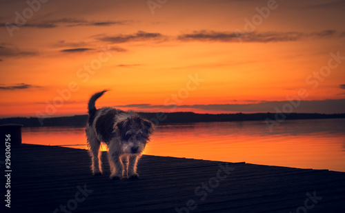 Foto auf Gartenposter Rotglühen Mongrel dog walking on the pier at sunset