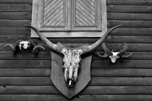 Cow And Ram Trophies On A Wall