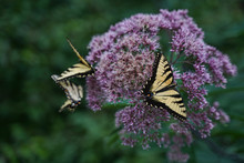 Eastern Swallowtail Butterflies Feeding On Joe Pye Weed.