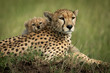 Close-up of cub on back of cheetah