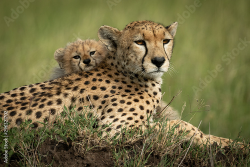 Fotografie, Tablou Close-up of cub on back of cheetah