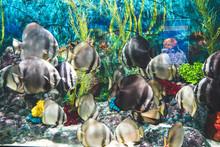 Longfin Batfish Fishes Swimmin...
