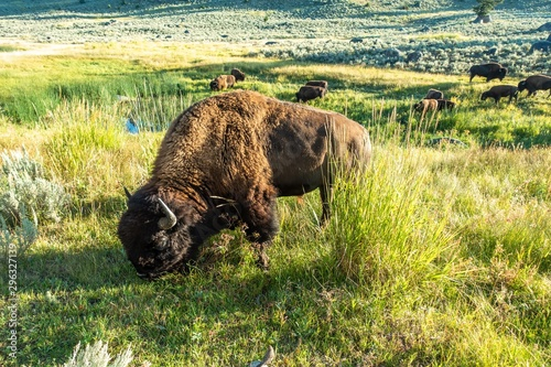 Yellowstone National Park Bison grazing in lamar valley