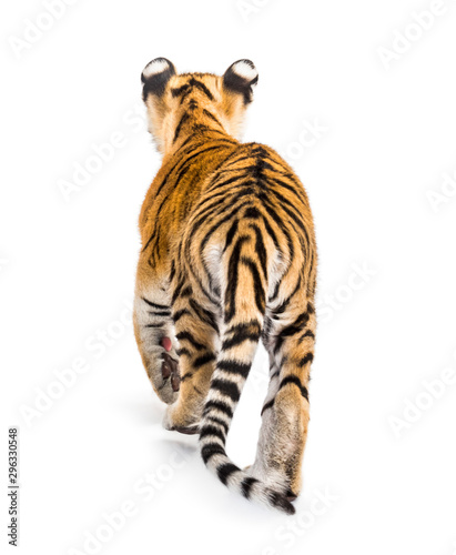 Back view of a two months old tiger cub walking, isolated on white