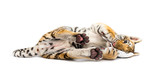 Fototapeta Zwierzęta - Two months old tiger cub lying against white background