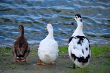 Three Ducks In A Row By The Lakes Water Edge Background